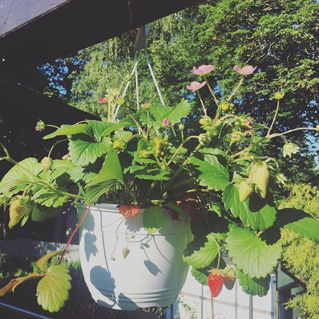 Erdbeere ️