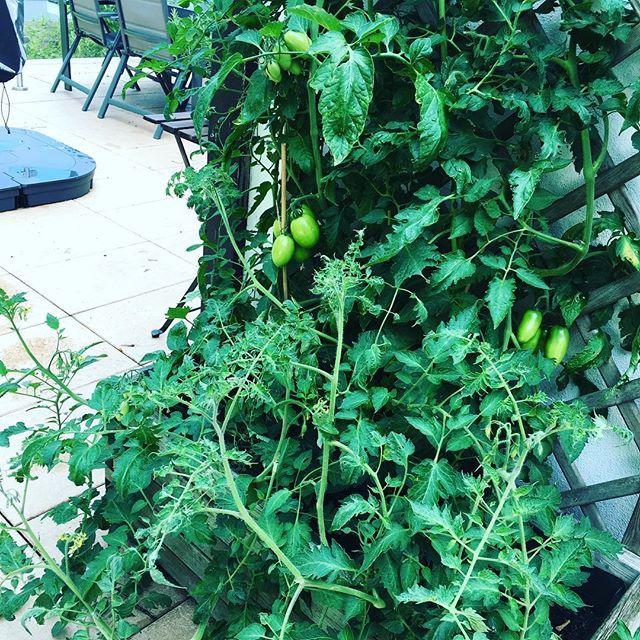 Unsere Tomaten wachsen und gedeihen!
