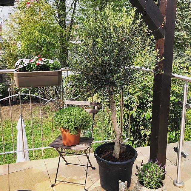 Unser neuer Olivenbaum ist endlich da  🌳 #terrasse